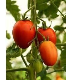 jardinage-planter-plants-de-tomates