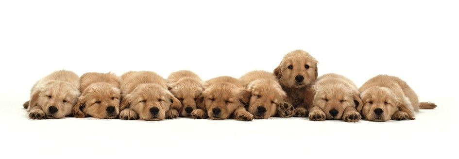 Affiche neuf chiots Golden Retriever
