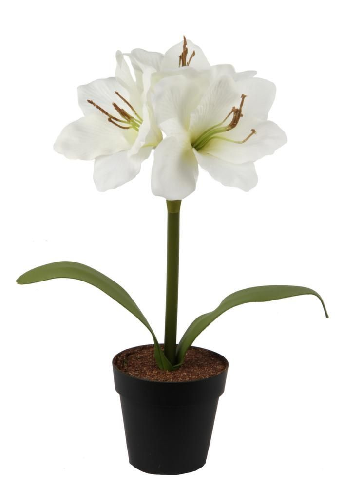 Jardin maison meubles d coration for Amaryllis plantation en pot