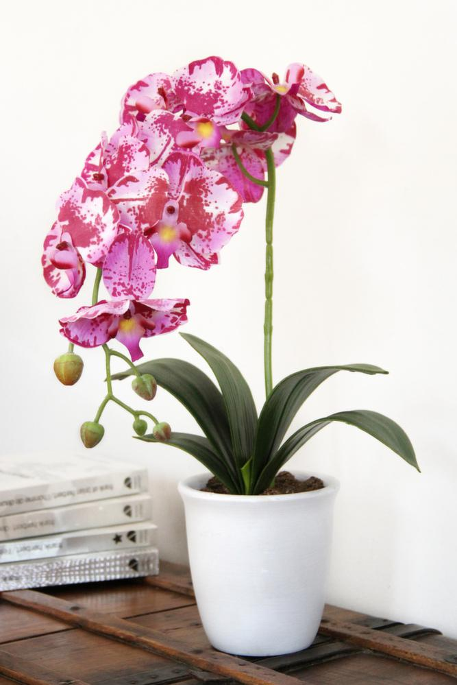 grande orchid e en pot. Black Bedroom Furniture Sets. Home Design Ideas