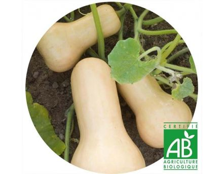 Courge Butternut AB