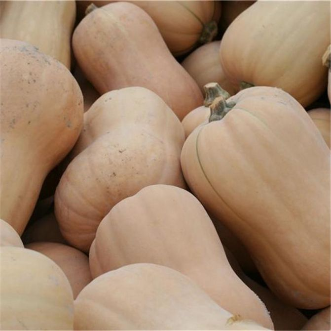 Courge Butternut AB - 4,20