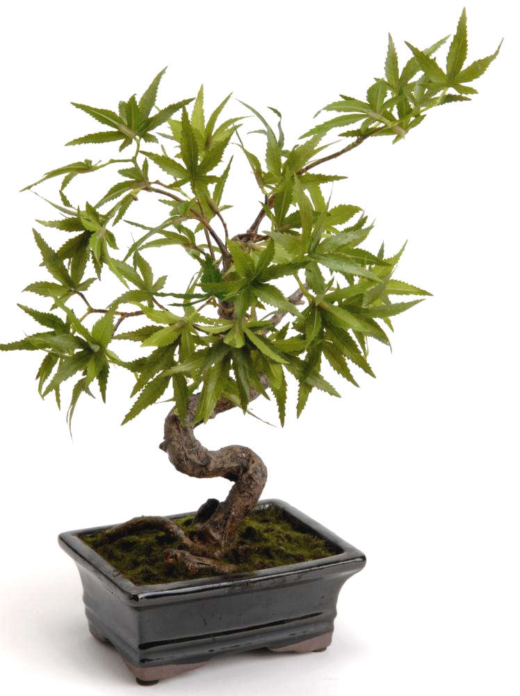 bonsa rable du japon 35cm ebay. Black Bedroom Furniture Sets. Home Design Ideas